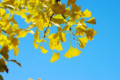 Ginkgo biloba leafs Royalty Free Stock Photography