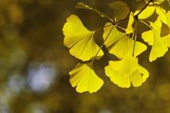 Ginkgo biloba leafs. Ginkgo biloba autumn leafs. Horizontal orientation Royalty Free Stock Photos