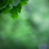 Ginkgo biloba leafs background Stock Photos
