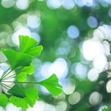 Ginkgo biloba leafs background Stock Images