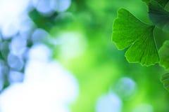 Ginkgo biloba leafs background Stock Photo