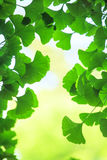 Ginkgo biloba leafs background Stock Photography