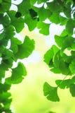 Ginkgo biloba leafs background Stock Photography