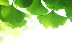 Ginkgo biloba leaves. On white background Royalty Free Stock Photos