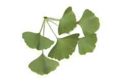Ginkgo biloba leaves Stock Images