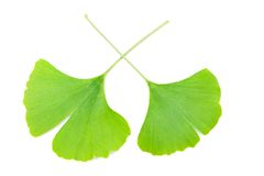 Ginkgo biloba leaves Royalty Free Stock Photography