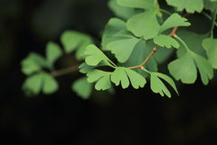 Ginkgo Biloba Leaves. Ginkgo biloba, also known as the maidenhair tree, is one of the oldest species of trees on the planet. The tree is considered to be a royalty free stock photos