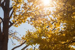 Ginkgo biloba leaves. Autumn leaves Stock Photography
