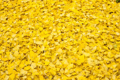 Ginkgo biloba leaves in autumn Stock Images
