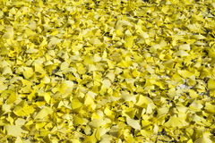Ginkgo biloba leaves background Royalty Free Stock Photo