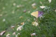 Ginkgo biloba leaves begin to dry up. A yellowing ginkgo leaf falls on the grass. Ginkgo biloba leaves that turn yellow and begin to rot royalty free stock photos