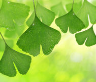 Ginkgo biloba leaves Royalty Free Stock Images