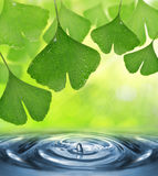 Ginkgo biloba leaves with dew drops Stock Photo
