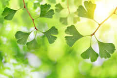 Ginkgo biloba leaves Royalty Free Stock Photos