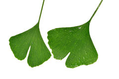 Ginkgo biloba leaves with dew drops Stock Images