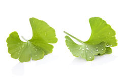 Ginkgo. Royalty Free Stock Images