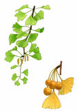 Ginkgo biloba leaves and fruit (Ginkgo biloba) Royalty Free Stock Photos