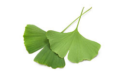 Ginkgo biloba leaves. Green ginkgo biloba leaves isolated on white background Royalty Free Stock Photography