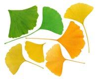 Ginkgo Biloba leaves herbarium Stock Photography