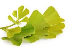 Ginkgo biloba leaves isolated on white background Royalty Free Stock Image