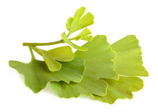 Ginkgo biloba leaves isolated on white background Royalty Free Stock Images