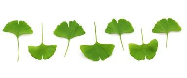 Ginkgo biloba leaves Stock Image