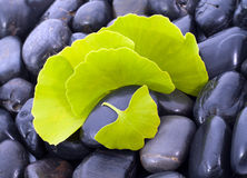 Ginkgo biloba leaves in nature. Royalty Free Stock Photo