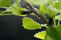 Ginkgo Biloba Leaves with Rain Drops Stock Image