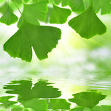 Ginkgo biloba leaves Royalty Free Stock Image