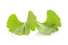Ginkgo biloba. Royalty Free Stock Image