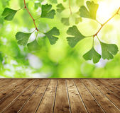 Ginkgo biloba leaves Stock Image