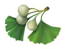Ginkgo biloba (Maidenhair Tree) illustration Royalty Free Stock Images