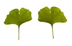 Ginkgo biloba. one leaf Royalty Free Stock Photos