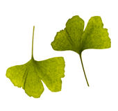 Ginkgo biloba. one leaf - two Royalty Free Stock Image