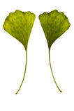 Ginkgo biloba. one leaf - two Royalty Free Stock Photography