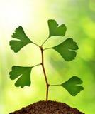 Ginkgo biloba plant Stock Image