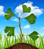 Ginkgo biloba plant Royalty Free Stock Image