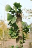 Ginkgo biloba. Travel to see a very beautiful Ginkgo biloba Stock Photos