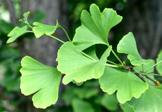 Ginkgo Biloba Tree Royalty Free Stock Image