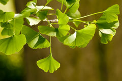 Ginkgo Biloba tree Royalty Free Stock Photo