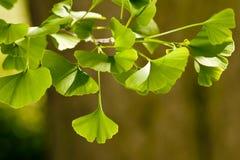 Ginkgo Biloba tree. Close-up on Ginkgo Biloba tree Royalty Free Stock Photo