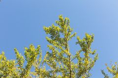 Ginkgo biloba tree royalty free stock images