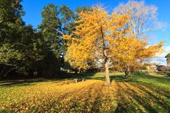 Ginkgo biloba tree in autumn, carpeting the ground with fallen leaves. A ginkgo tree in a park sheds bright yellow autumn leaves onto the grass stock photo