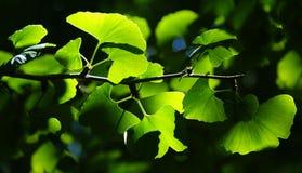 Ginkgo Biloba tree branch in Botanic Garden stock photo