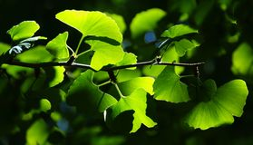 Ginkgo Biloba tree branch in Botanic Garden stock photo