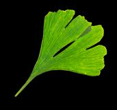 Ginkgo biloba tree branch Royalty Free Stock Photography
