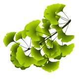 Ginkgo biloba tree branch with green leaves vector illustration