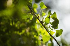 Ginkgo biloba tree branch with leafs Royalty Free Stock Photo