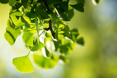 Ginkgo biloba tree branch with leafs Stock Photography