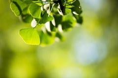 Ginkgo biloba tree branch with leafs Stock Photos